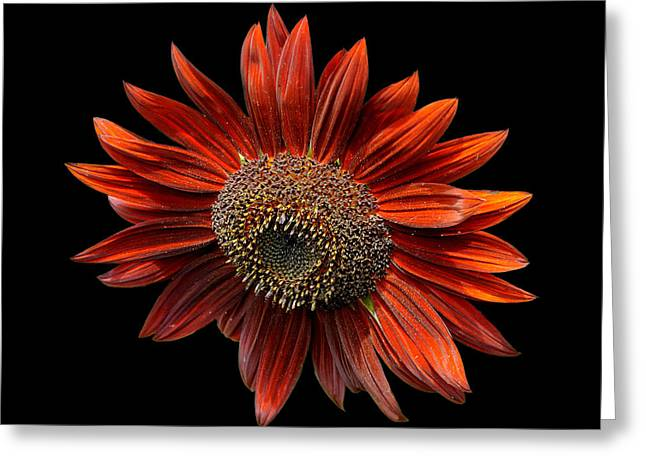 Red Sunflower On Black Greeting Card