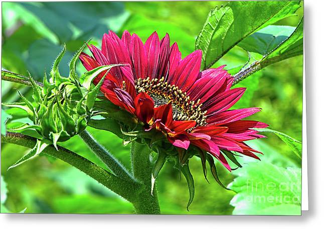 Red Sunflower Greeting Card by Sharon Talson