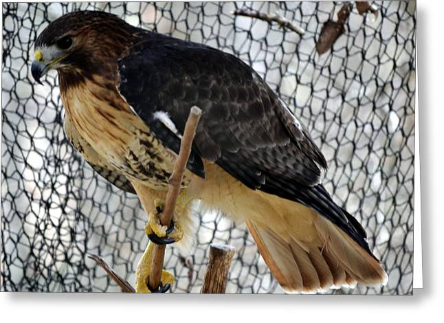 Red Tail Hawk Greeting Card by Eva Thomas
