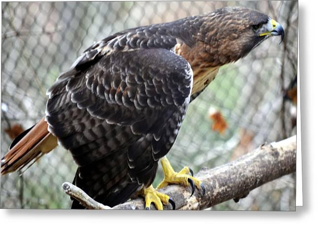 Red Tail Hawk Facing Right Greeting Card by Eva Thomas