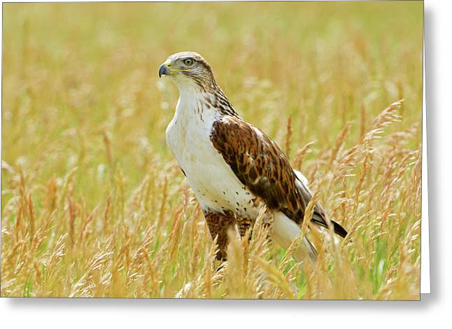 Red Tail Hawk Greeting Card by James Steele
