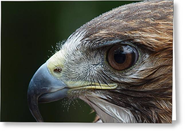 Red Tail Hawk Misted Greeting Card by Peter Gray