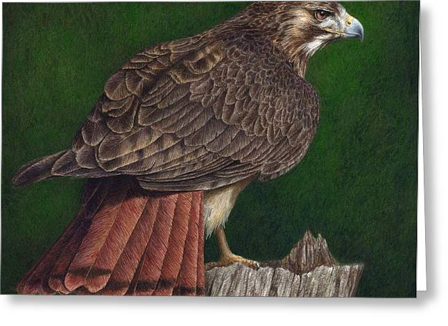 Wildlife Watercolor Greeting Cards - Red Tail Hawk Greeting Card by Pat Erickson