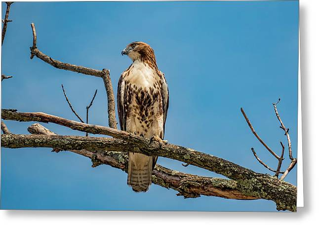 Red Tail Hawk Perched Greeting Card