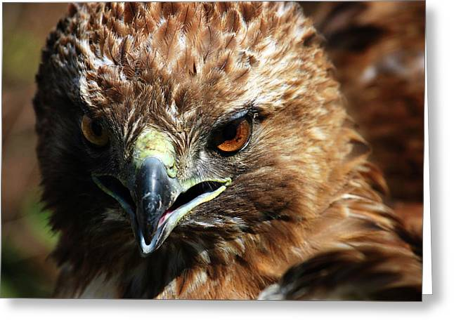 Greeting Card featuring the photograph Red-tail Hawk Portrait by Anthony Jones