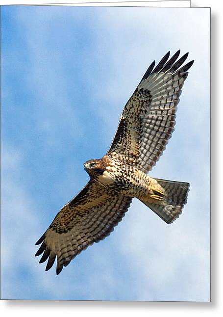 Red Tail Hawk Greeting Card by Randall Ingalls