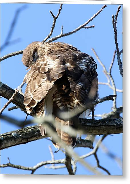 Red Tail II Greeting Card by David Yunker