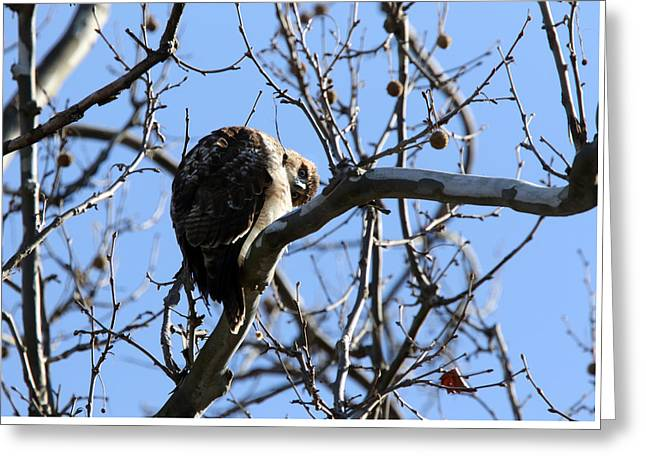 Red Tail IIi Greeting Card by David Yunker