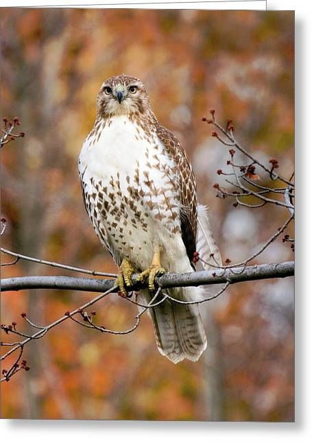 Red Tail In Autumn Glory Greeting Card by Timothy McIntyre