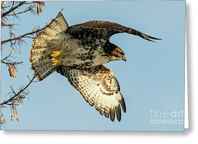 Red-tail  Takeoff Greeting Card by Mike Dawson