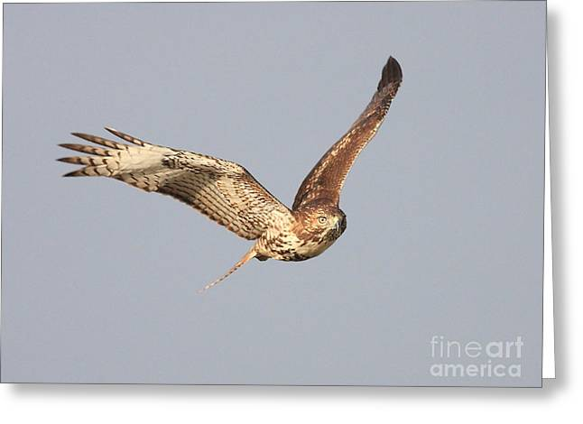 Red Tailed Hawk - 20100101-7 Greeting Card by Wingsdomain Art and Photography