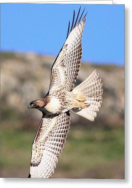 Red Tailed Hawk - 20100101-8 Greeting Card by Wingsdomain Art and Photography