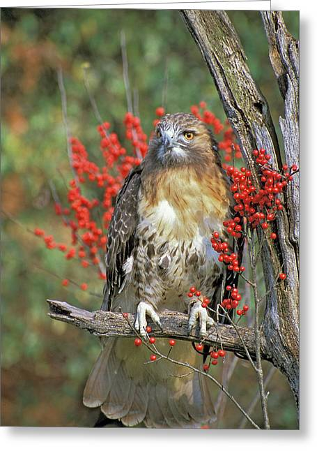 Red Tailed Hawk 1 Greeting Card by Mike Goldstein