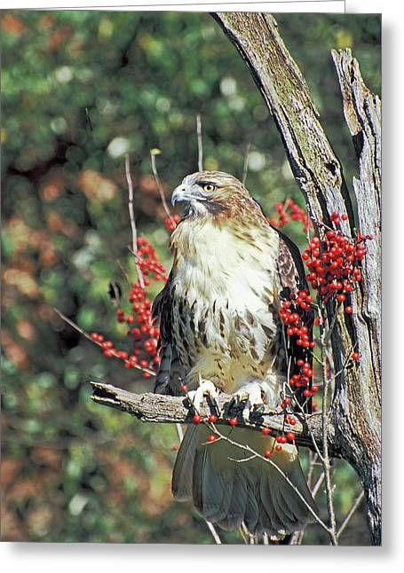 Red Tailed Hawk 2 Greeting Card by Mike Goldstein