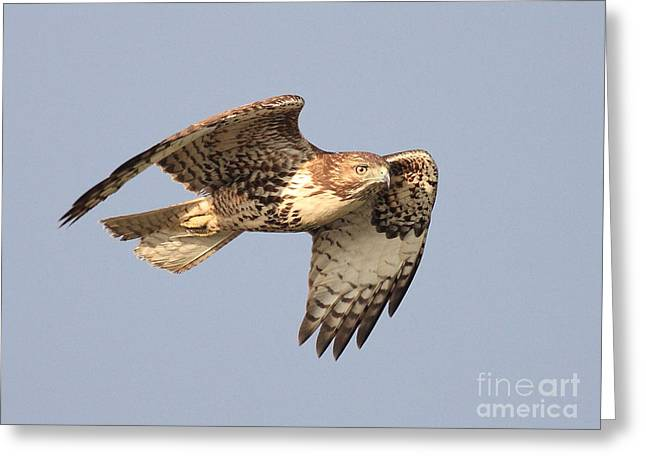 Red Tailed Hawk 20100101-2 Greeting Card by Wingsdomain Art and Photography