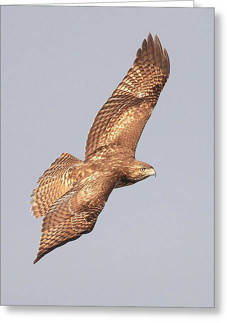 Red Tailed Hawk 20100101-4 Greeting Card by Wingsdomain Art and Photography