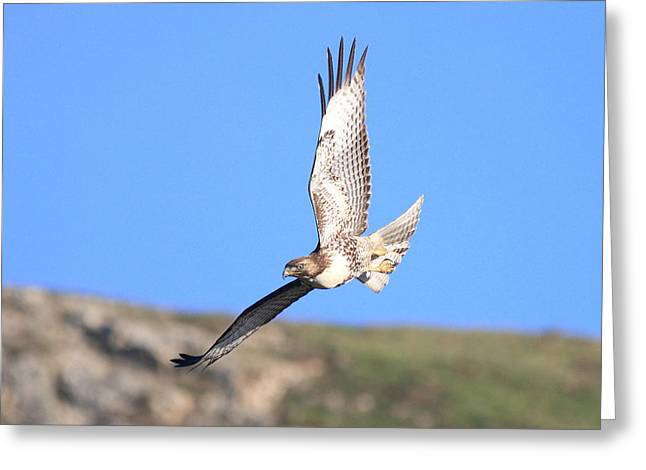 Red Tailed Hawk 20100101-6 Greeting Card by Wingsdomain Art and Photography