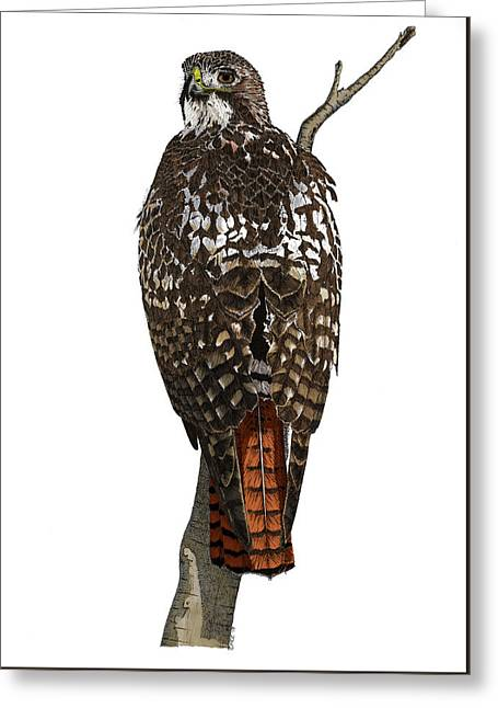 Red-tailed Hawk - Color Greeting Card
