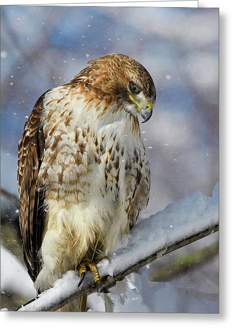 Red Tailed Hawk, Glamour Pose Greeting Card