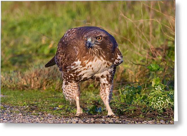 Red-tailed Hawk Hunting Bugs Greeting Card