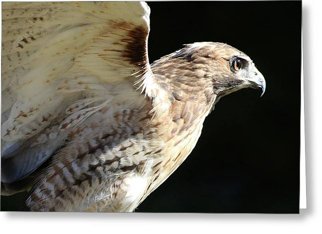 Red-tailed Hawk In Profile Greeting Card