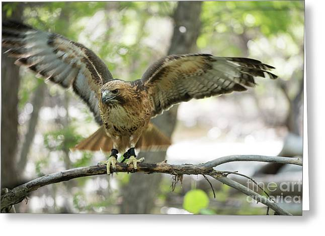 Red-tailed Hawk  Greeting Card by Juli Scalzi