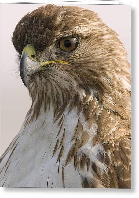 Red Tailed Hawk Juvenile Stevens Creek Greeting Card