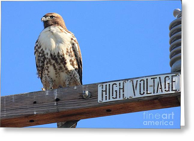 Red Tailed Hawk On High Voltage Greeting Card by Wingsdomain Art and Photography