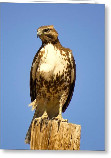 Red-tailed Hawk On Post Greeting Card