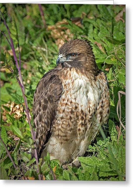 Red-tailed Hawk On The Ground Greeting Card