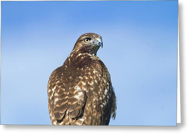 Red-tailed Hawk Perched Looking Back Over Shoulder Greeting Card