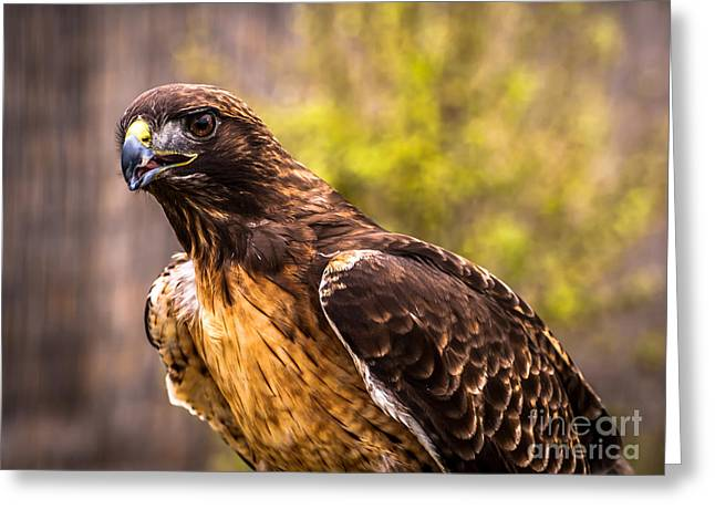 Red Tailed Hawk Profile 2 Greeting Card