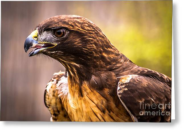 Red Tailed Hawk Profile Greeting Card