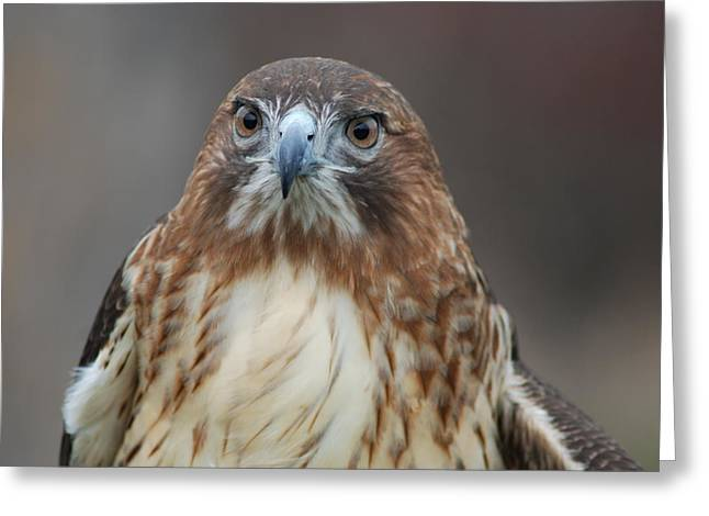 Greeting Card featuring the photograph Red Tailed Hawk by Richard Bryce and Family