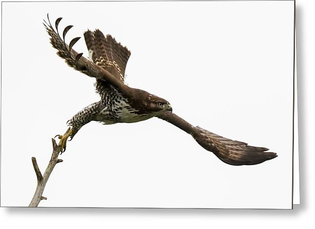 Red-tailed Hawk Swoosh Greeting Card