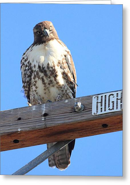 Red Tailed Hawk . What You Lookin At Greeting Card by Wingsdomain Art and Photography