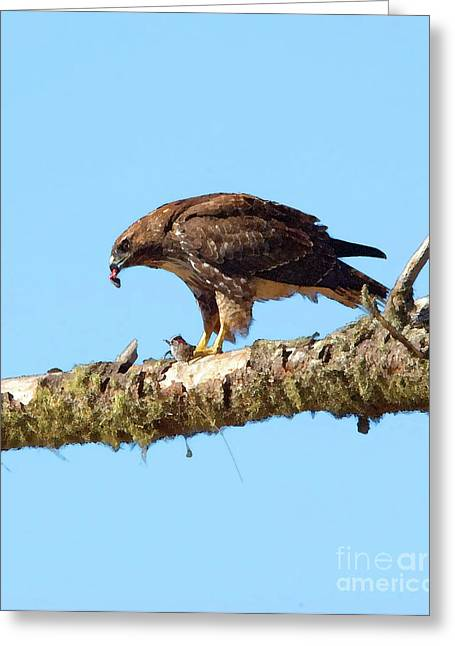 Red-tailed Hawk With Prey Greeting Card by Betty LaRue
