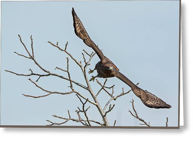 Red-tailed Launch Greeting Card by Loree Johnson