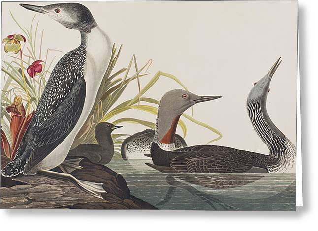 Red-throated Diver Greeting Card