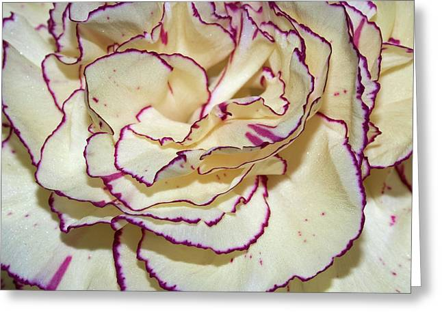 Red Tipped Carnation Greeting Card