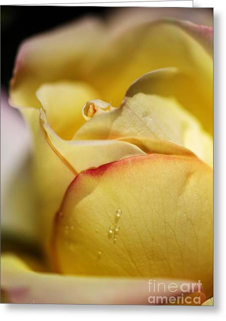 Red Tipped Yellow Rose Greeting Card by Joy Watson
