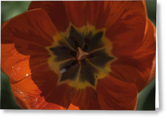 Red Tulip Center Greeting Card by Teresa Mucha