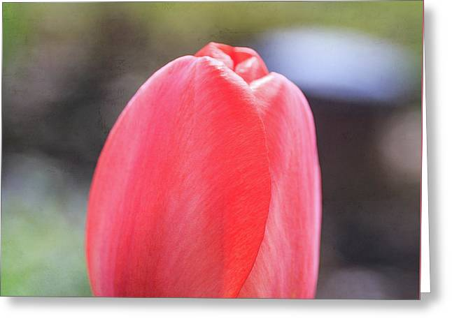 Greeting Card featuring the photograph Red Tulip Square by Edward Fielding