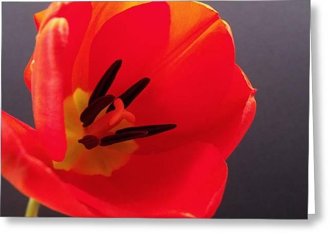Red Tulip IIi Greeting Card by Anna Villarreal Garbis