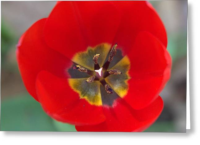 Red Tulip In 3d Greeting Card by Liz Allyn