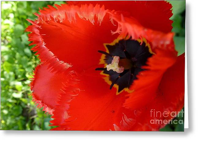 Greeting Card featuring the photograph Red Tulip by Jean Bernard Roussilhe