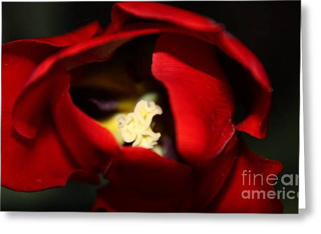 Greeting Card featuring the photograph Red Tulip by Jolanta Anna Karolska