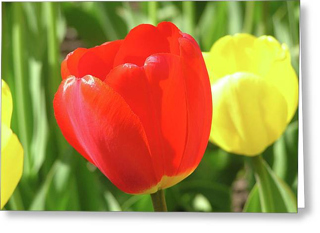 Red Tulip  Greeting Card by Richard Mitchell