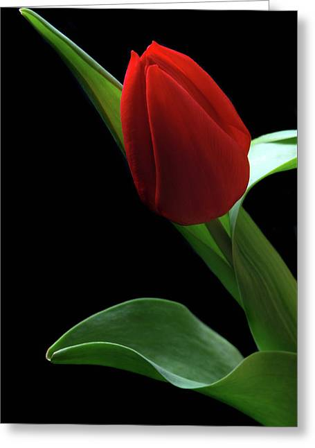 Red Tulip. Greeting Card