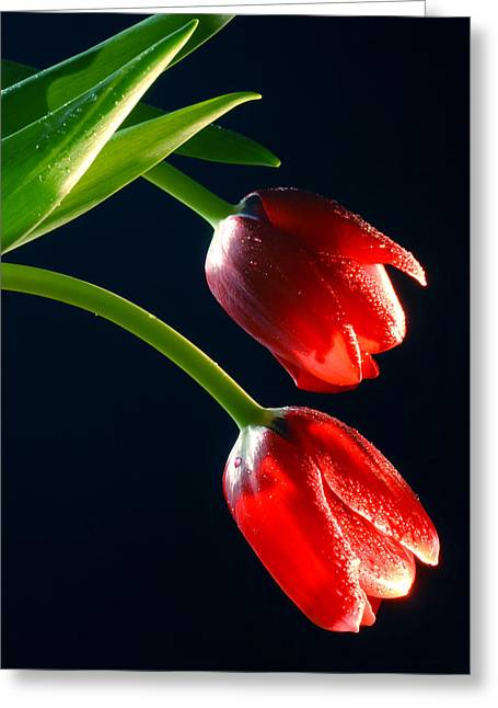 Red Tulips Greeting Card by Dung Ma